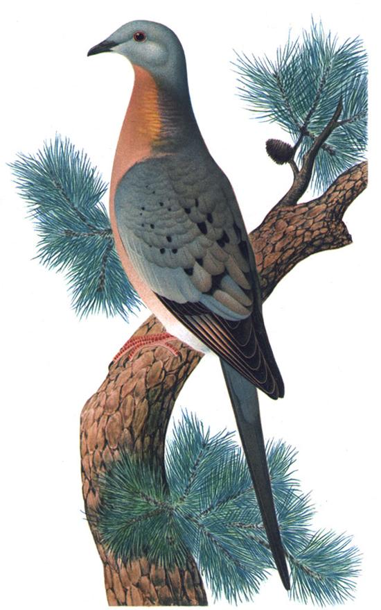 Ilustrasi burung merpati penumpang
