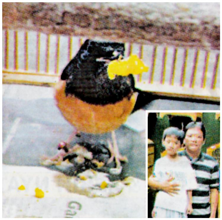 Semua murai batu di PM22 Bird Farm sudah mengkonsumsi telur rebus. Insert: Yang-Yang dan akanya. [ foto: Tabloid Agrobur ]