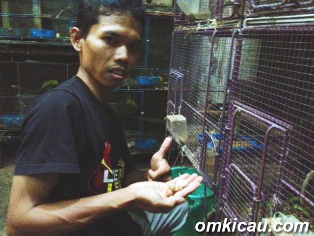 Om Muda Gunawan Melihat piyik yang baru menetas setelah dierami babu non-klep.