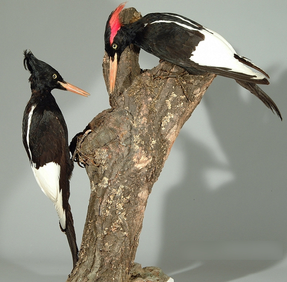 Spesimen burung pelatuk Raja di Museum Wiesbaden, Jerman.
