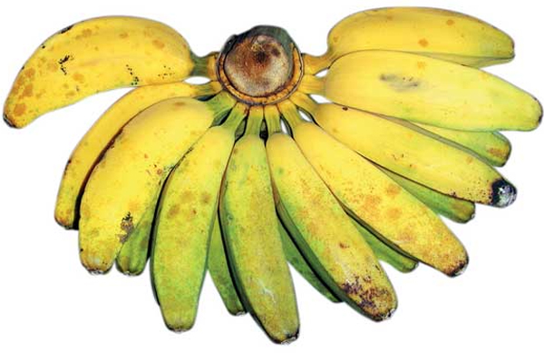 pakan burung jalak-pisang kepok