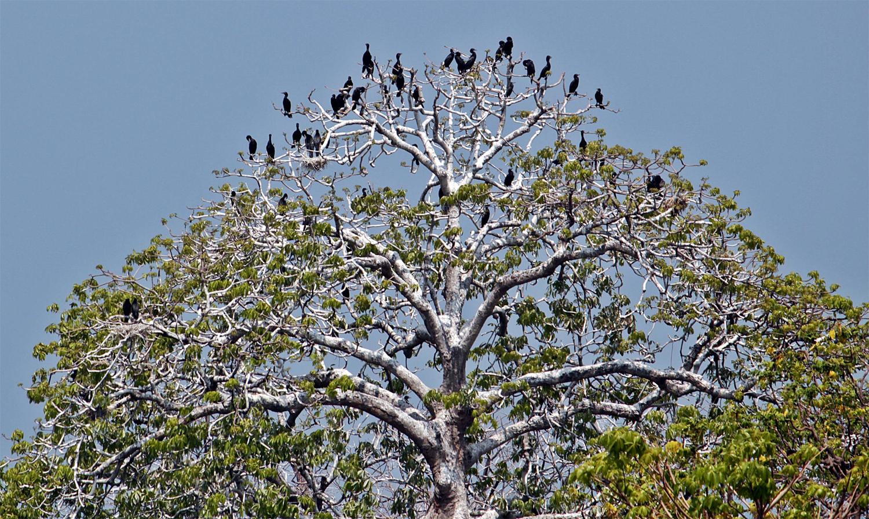 Sekawanan burung hinggap di pohon, sehingga terlihat seperti pohon burung