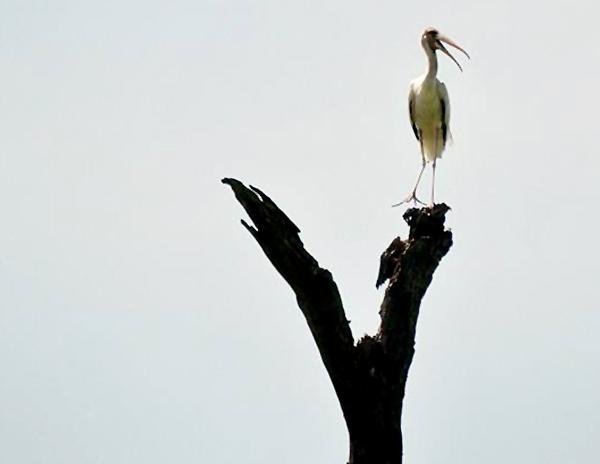 Burung bluwok (Mycteria cinerea) bertengger di pohon kering . (Foto: Antara/Zabur Karuru)