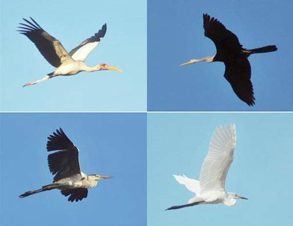 Foto kolase beberapa jenis burung di Pulau Rambut. Dari kiri atas (searah jarum jam): Bluwok, pecuk ular, kuntul sedang, dan cagak abu. (Foto: Antara/Zabur Karuru)
