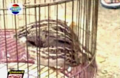 Lomba puyuh di Pamekasan(Foto : indosiar.com)