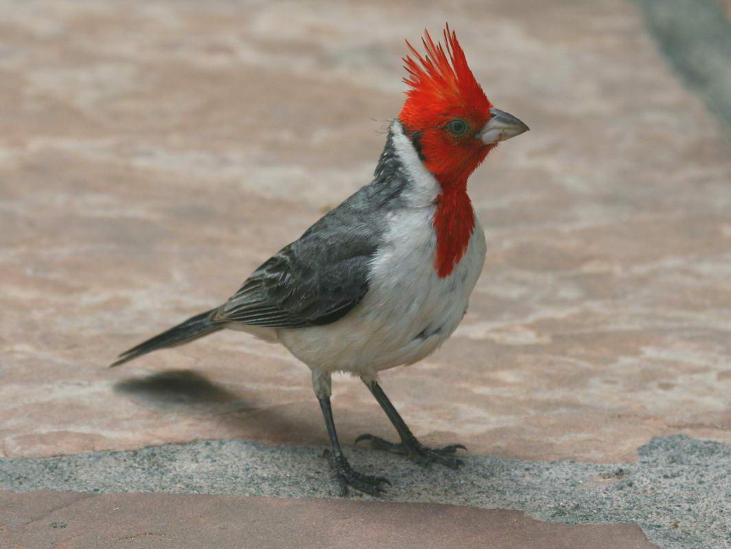Angry bird jantan dicirikan dengan jambul merah