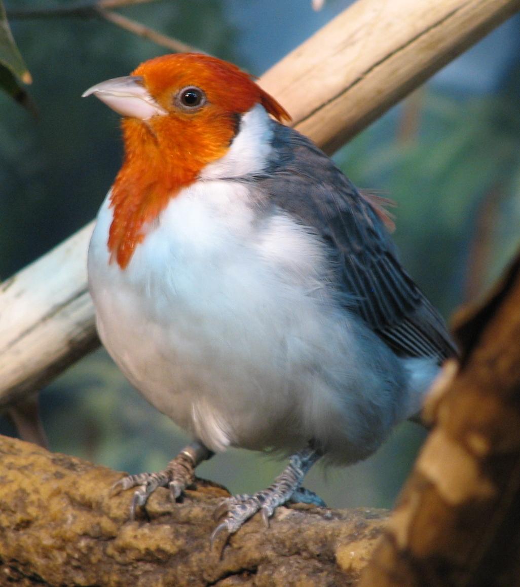 Angry bird betina tidak memiliki jambul.