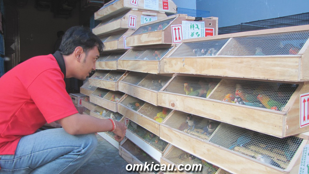 Lovebird impor mendominasi pasar lokal.