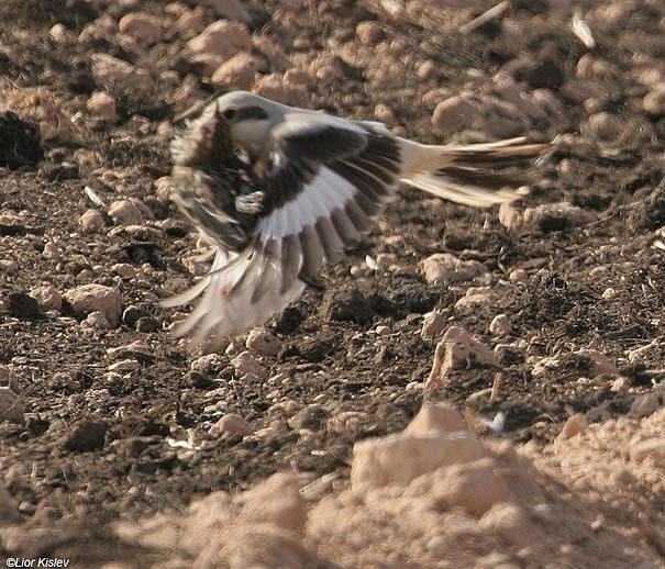 Di alam liar pentet sering melakukan gaya akrobatik termasuk salto untuk mengajar burung kecil