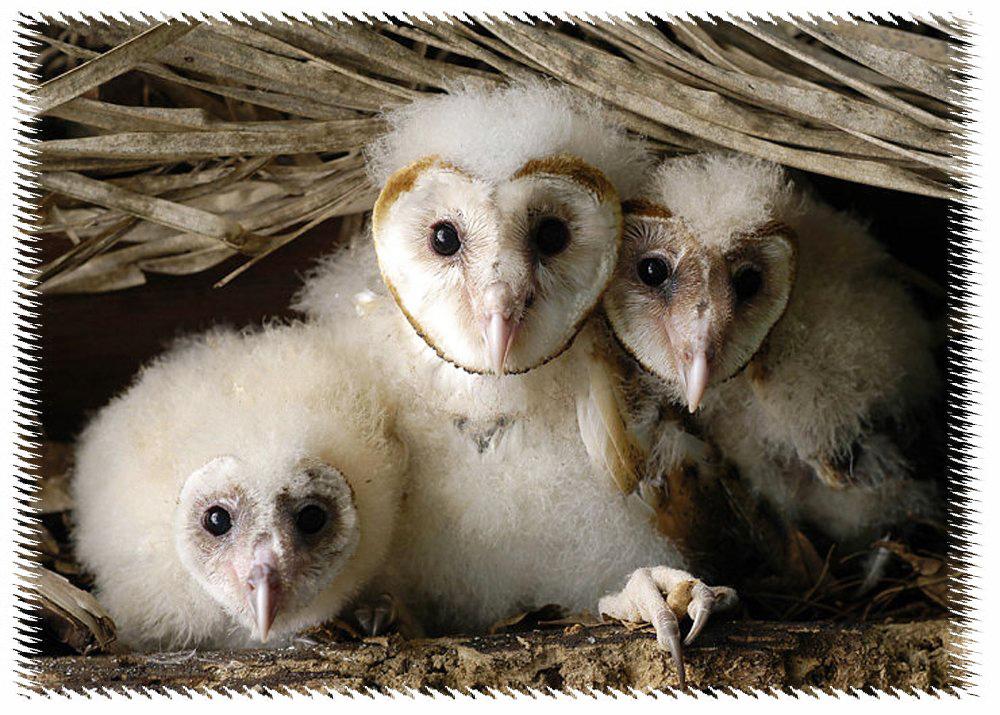 Tyto alba merupakan jenis burung hantu terpopular di Indonesia.