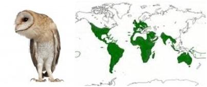 Burung hantu dan penyebarannya - TYTO ALBA