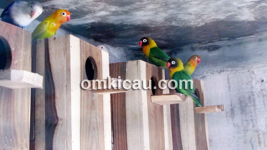 Kandang koloni lovebird di ABS Bird Farm.