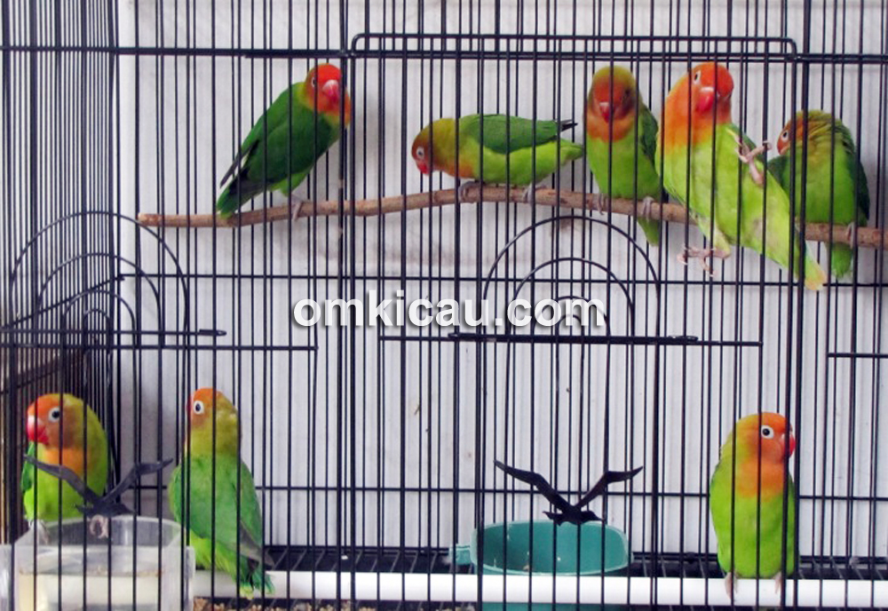 Lovebird siap jual dimasukkan dalam kandang koloni.