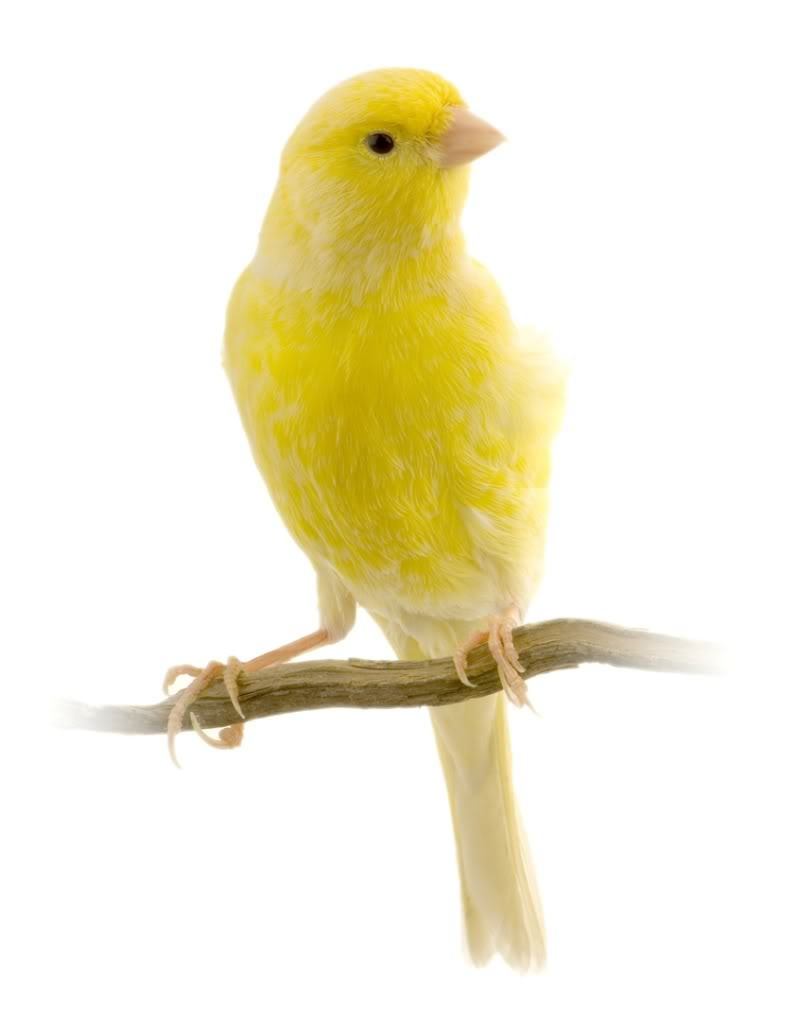 american-singer-canary