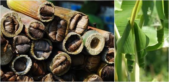 Ulat bambu dan ulat pisang