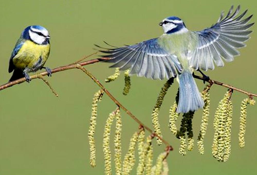 Pasangan burung blue tit (Parus caeruleus)