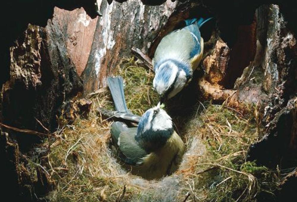 Blue tit jantan setia memasok pakan untuk induk betina yang sedang mengerami telur.
