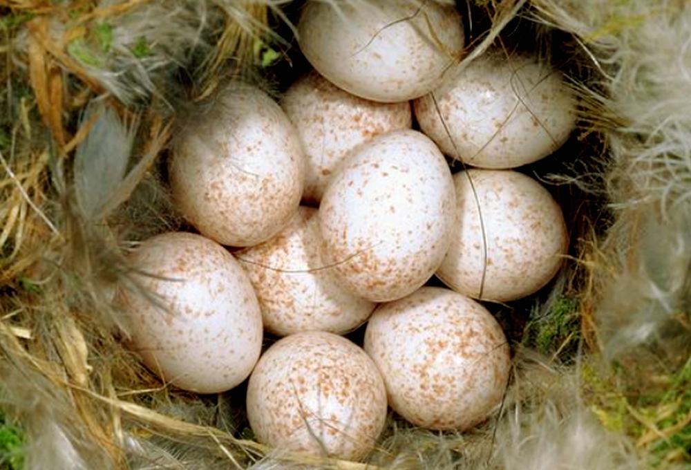 Buah cinta blue tit betina menghasilkan sejumlah telur, yang sebagian dibuahi selingkuhannya.