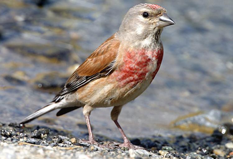 Burung linnet atau common linnet (Carduelis canabina)