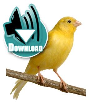 Download suara burung kenari