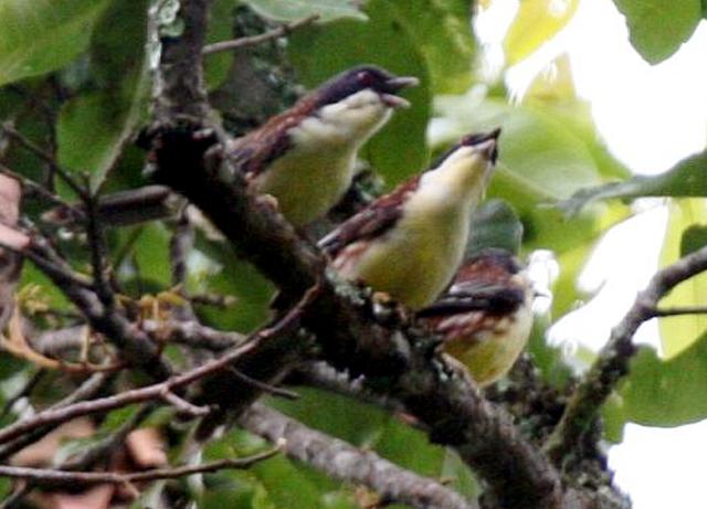 Parade burung cica matahari di pagi hari.