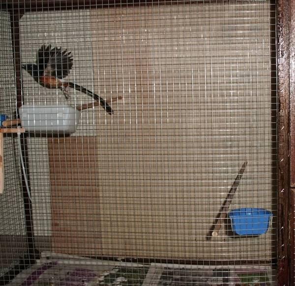 Burung murai batu didalam kandang karamba / aviary
