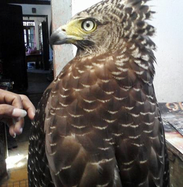 Gambar elang bido yang ditawarkan di sebuah website penjualan.