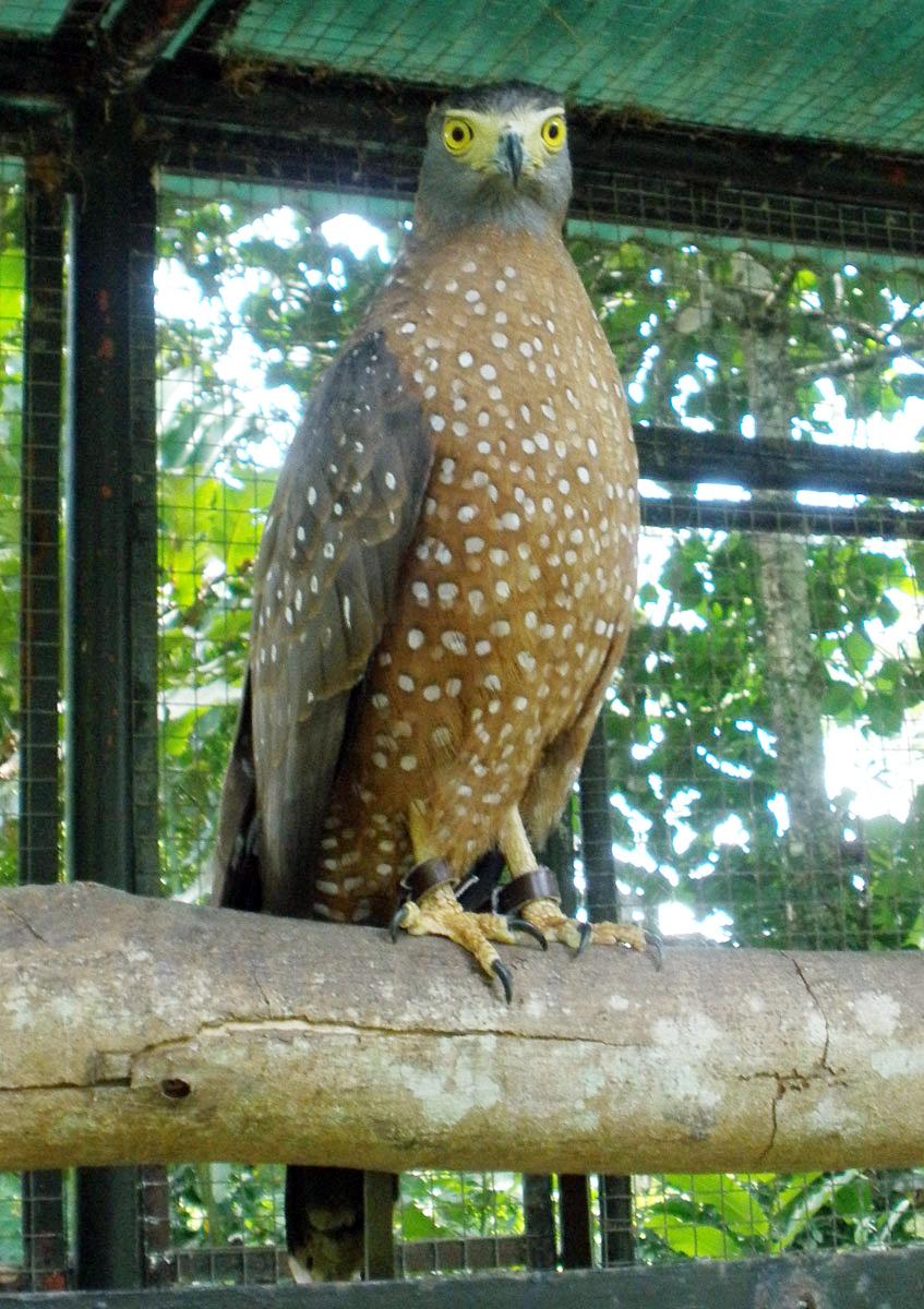 Burung elang bido atau elang ular bido (Spilornis cheela).
