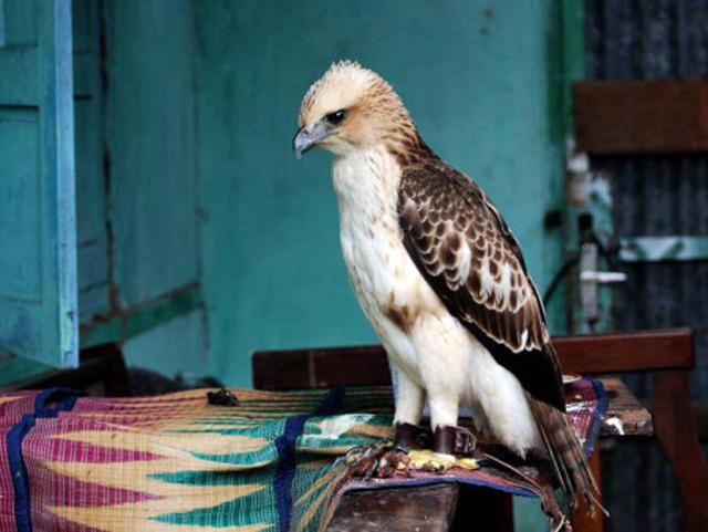 Burung elang brontok (Spizaetus cirrhatus)