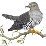 feat-cuckoo