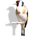feat-goldfinch