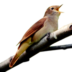feat-nightingale
