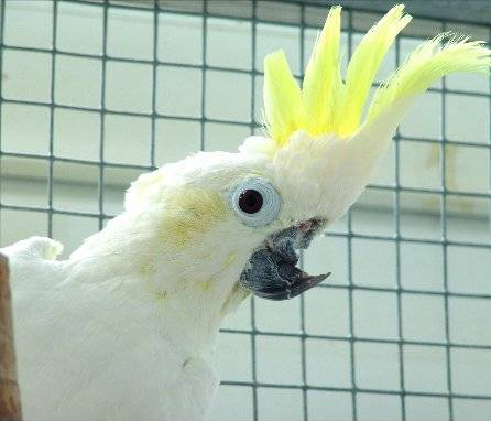 Burung kakatua betina yang cacat akibat agresi dari burung jantan