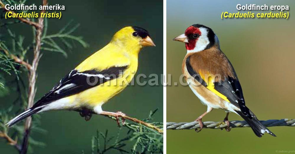 Dua jenis goldfinch paling popular saat ini.