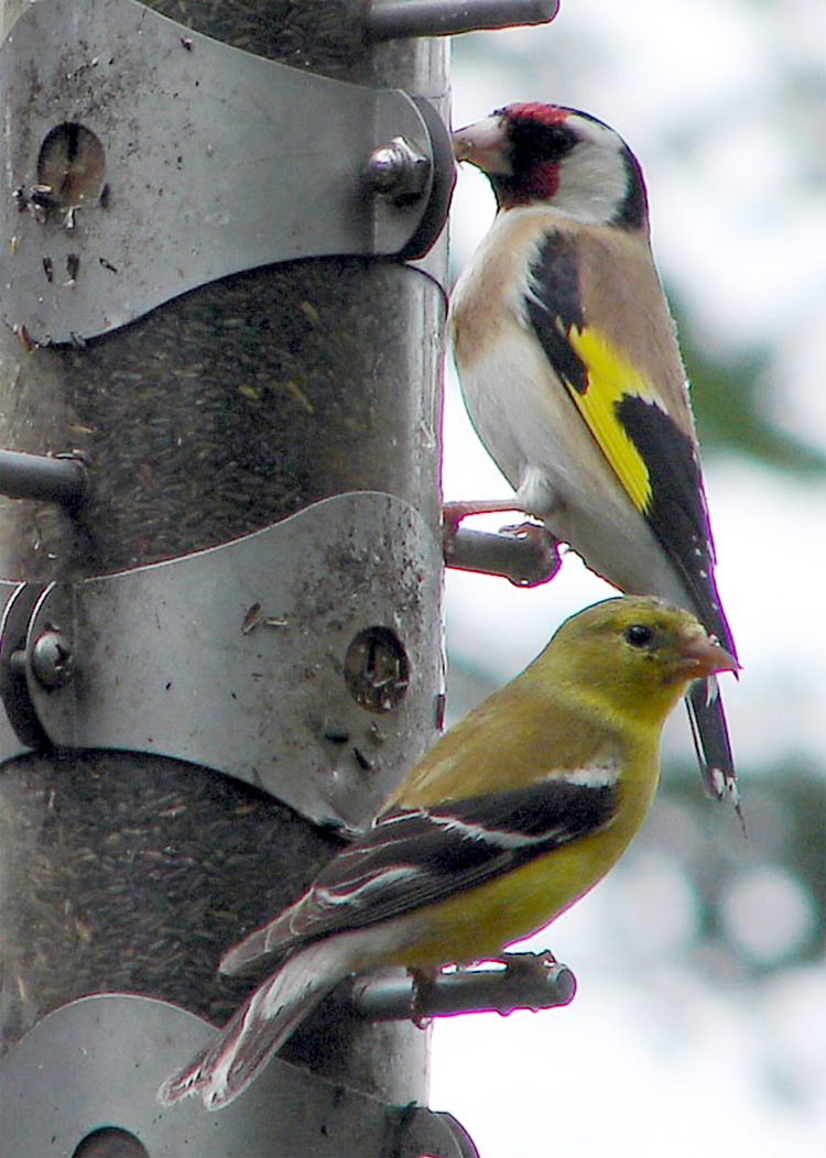 Goldfinch kini sering disilangkan dengan kenari untuk mencetak kenari mule.