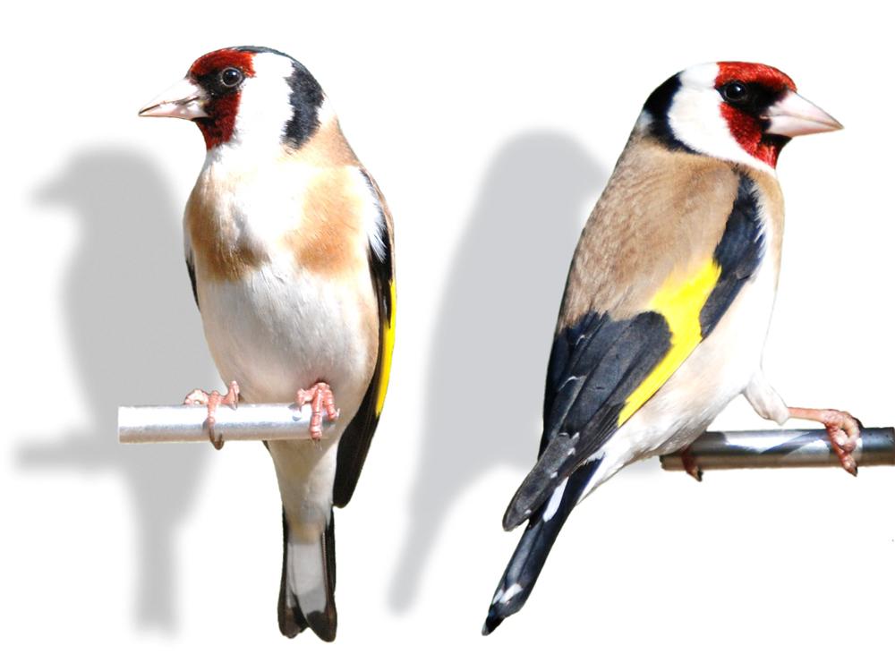 Goldfinch eropa (tampak depan dan samping)