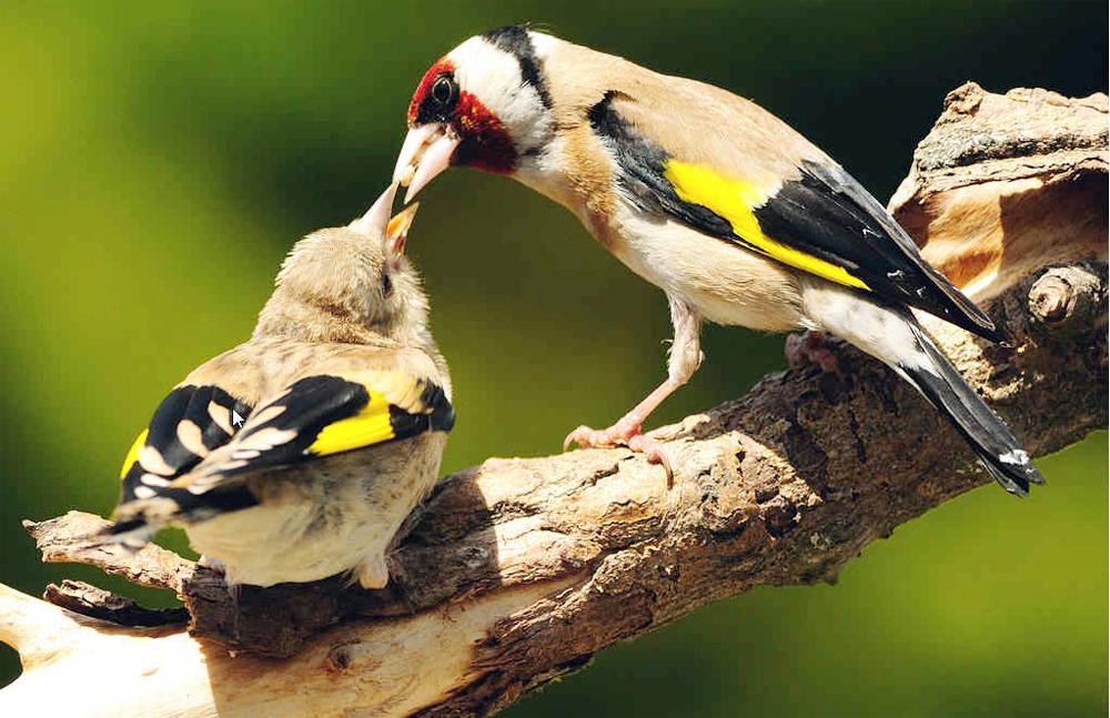 Induk goldfinch sedang menyuapi anaknya.