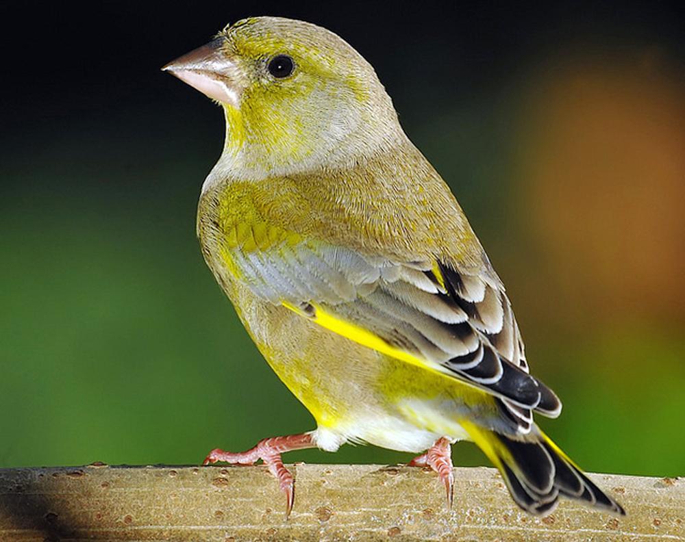 Extra fooding untuk burung finch