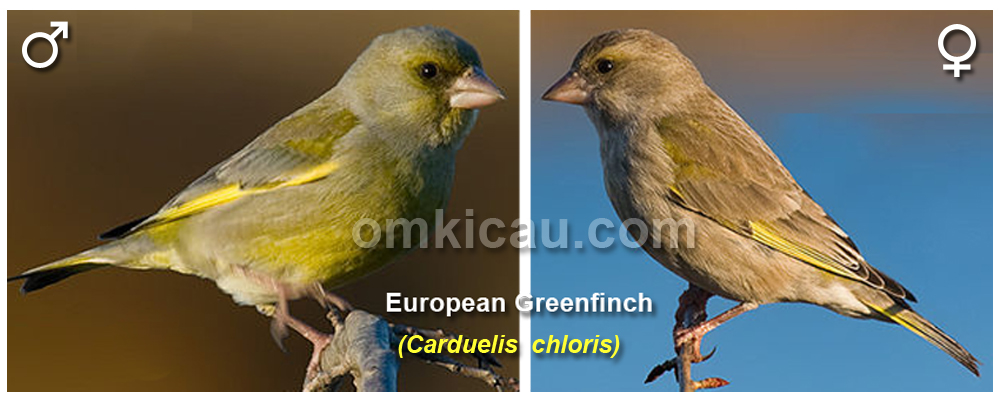 greenfinch-sexing