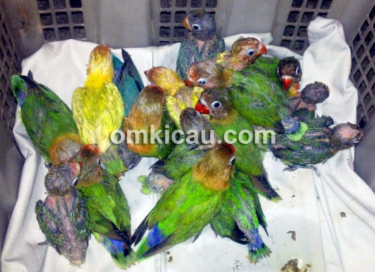 Lovebird muda usai dimandikan.