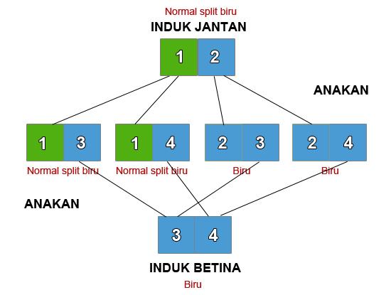 hijau split biru2