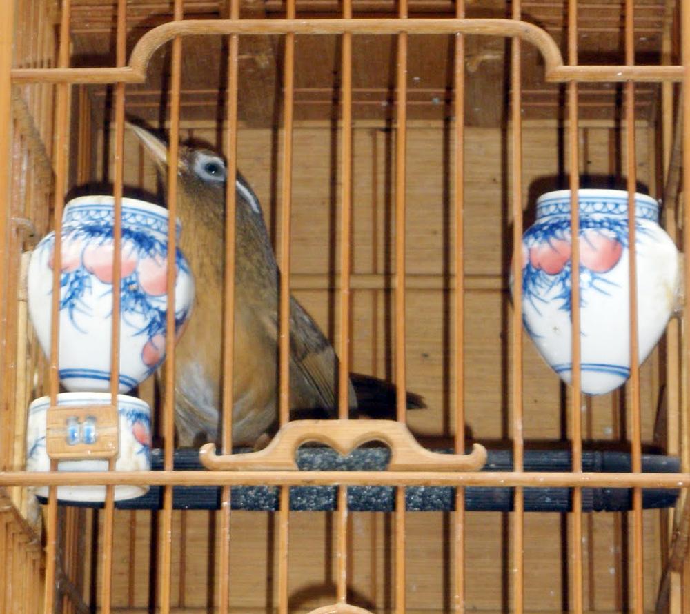 Burung hwamei / wambie