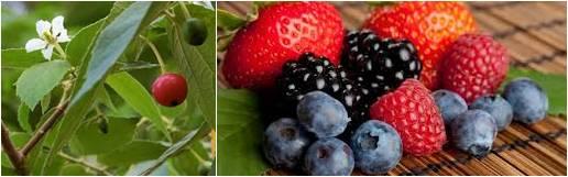 Buah kersen dan buah berry yang disukai burung pemakan serangga