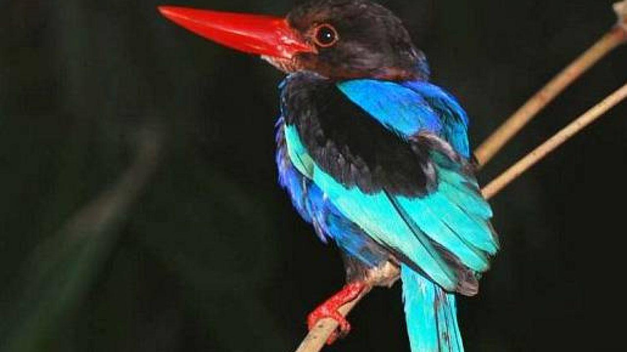 Burung Raja Udang Si Gesit Yang Harus Dilestarikan Om Kicau
