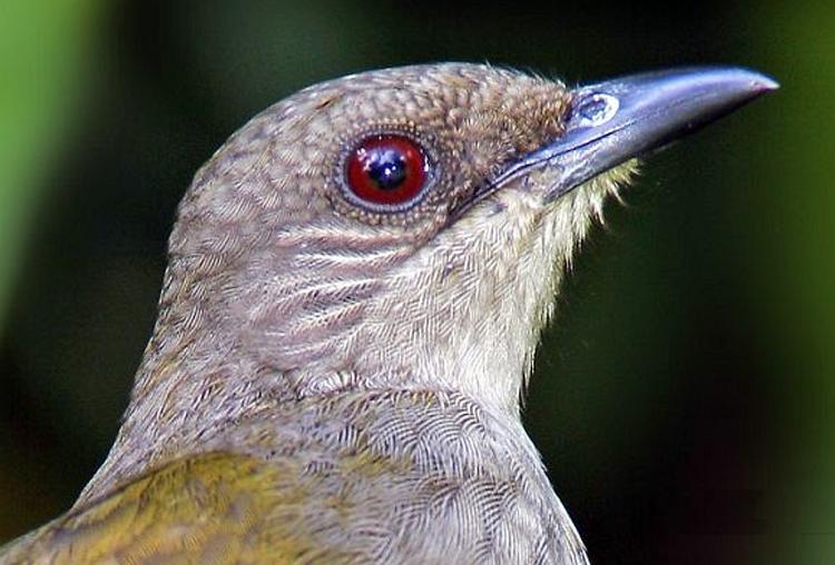 Kerancuan Soal Burung Kapas Tembak Dan Nama Spesiesnya Om Kicau
