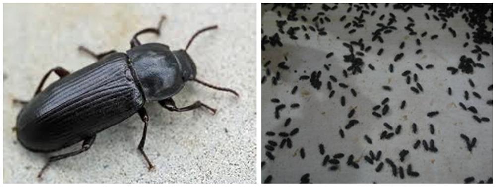 Tenebrio molitor, atau kumbang dari ulat hongkong.