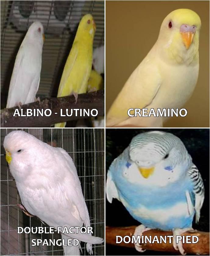 Ragam Mutasi Warna Pada Burung Parkit