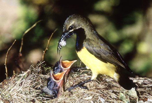 Burung yang memberi makan laba-laba pada anaknya