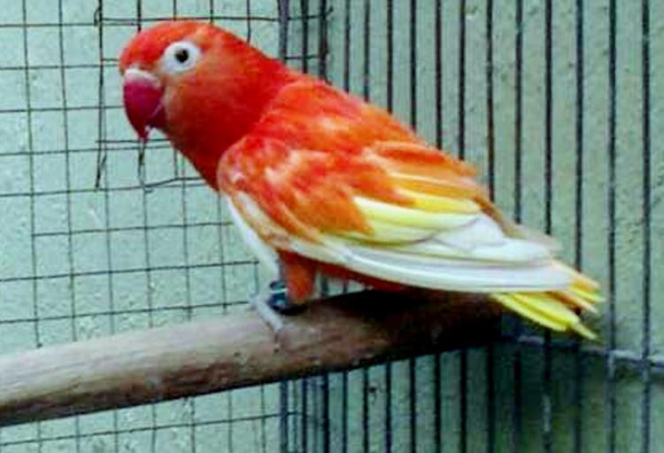 Lovebird blorok merah dengan paruh berwarna merah.