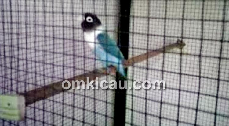 Lovebird penangkaran Om Sayifuddin